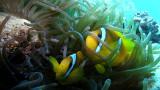 Błazenki wśród anemonów – Morze Czerwone – Egipt