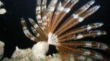 Liliowiec – Morze Czerwone – Egipt