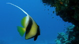 Red Sea Bannerfish (nie ma polskiej nazwy) – Morze Czerwone – Egipt