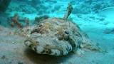 Ryba krokodyl – Morze Czerwone – Egipt