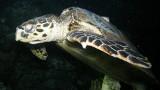 Śpiący żółw napotkany na nurkowaniu nocnym – Morze Czerwone – Egipt