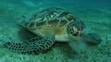 Pasący się żółw – Morze Czerwone – Egipt